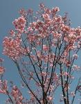 200322桜.jpg
